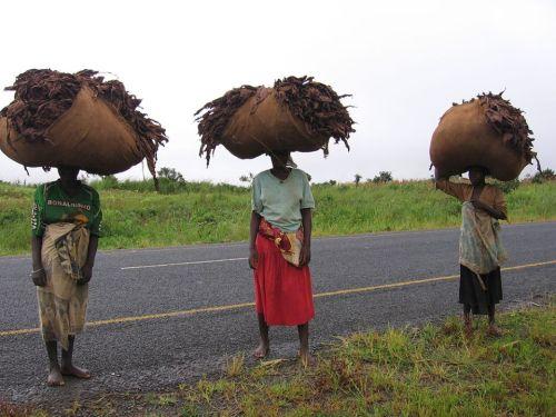 TETE - trabalhadoras carregando folhas de tabaco